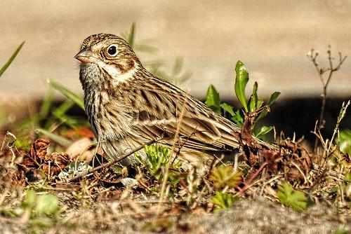 Savannah: Vesper Sparrow