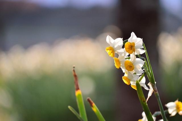 スイセン Narcissuses (5)