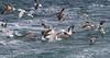 Gull feeding frenzy