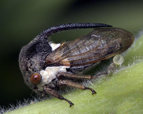 Moringa horned treehopper (Tribe: Leptocentrini)