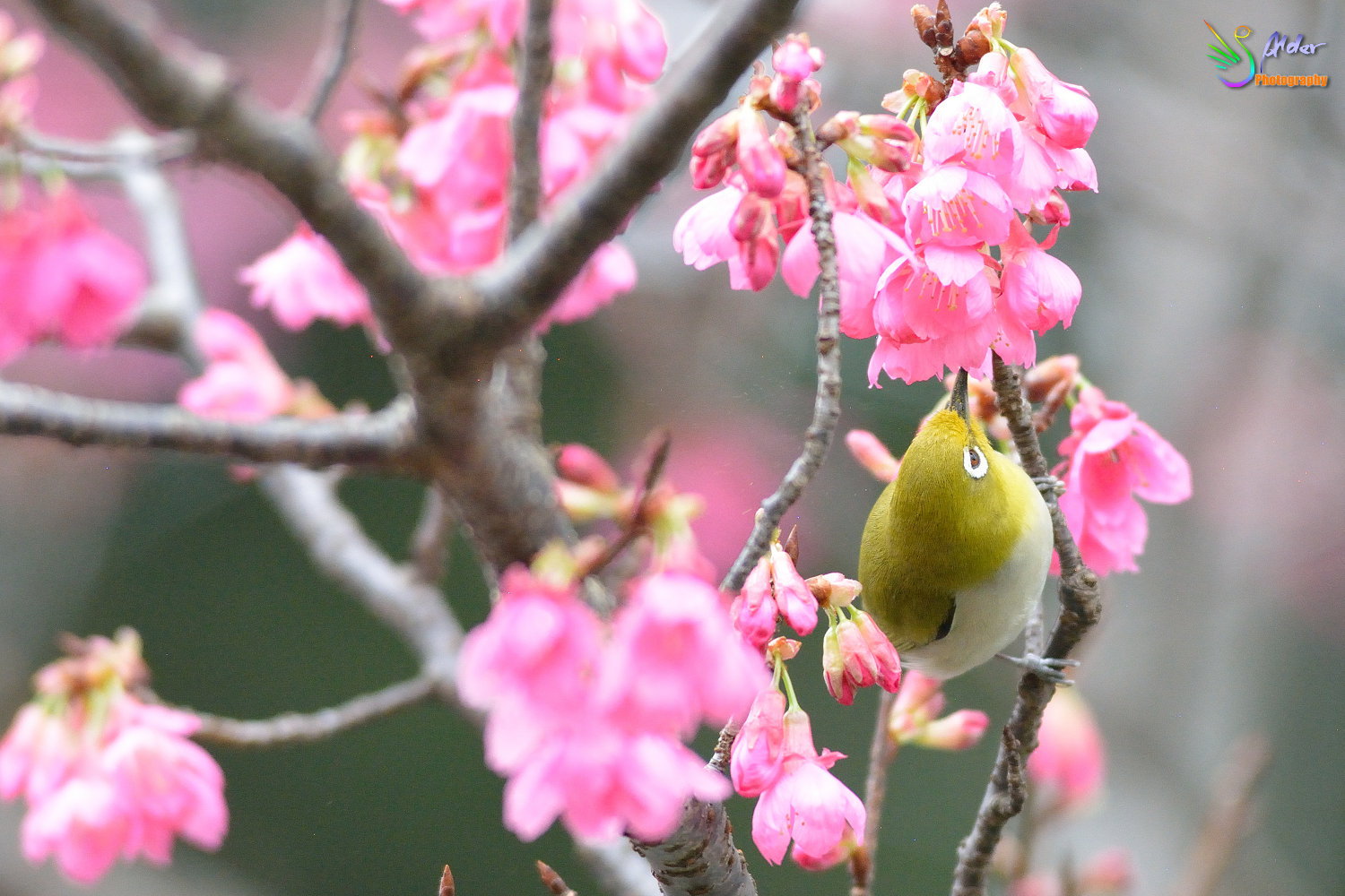 Sakura_White-eye_5820