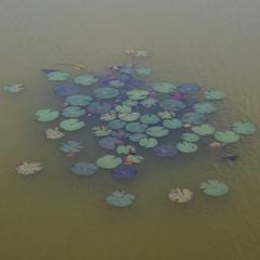 Water lilies at Angkor Wat moat