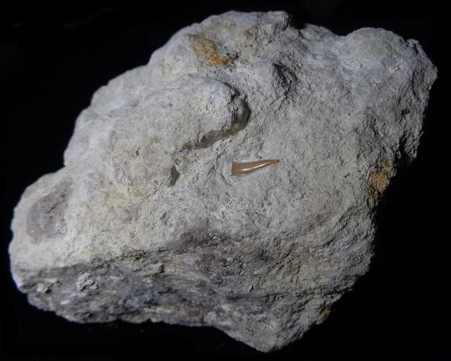Fossilised shark tooth