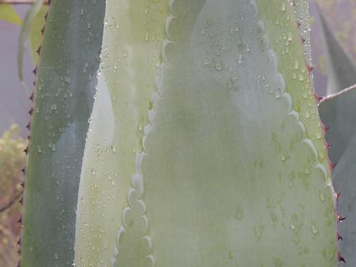 Benito Juarez - agaveblad