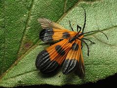 Mating Net-winged Beetles