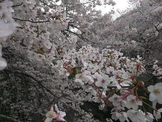 桜満開 #神田川