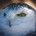 Snowy Owl by der LichtKlicker