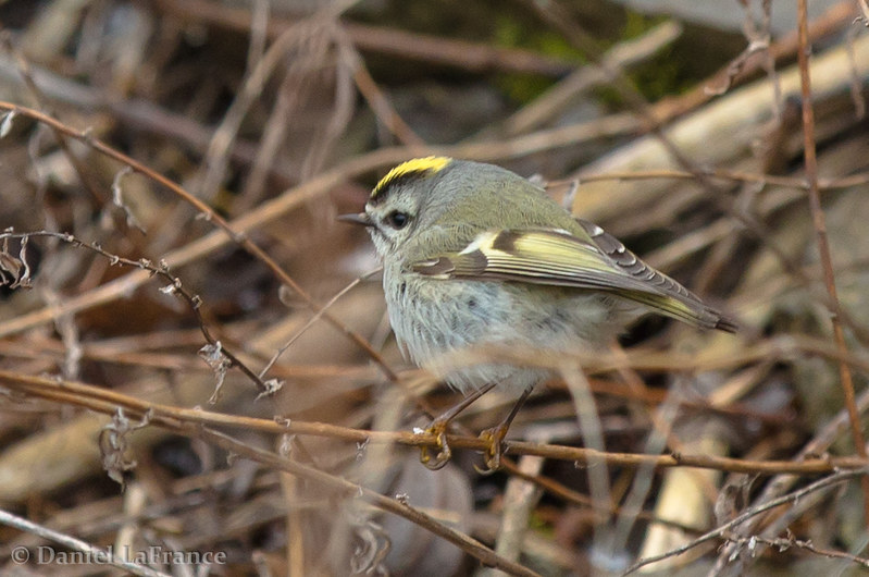 Golden-crowned Kinglet (DOL-A-7197)