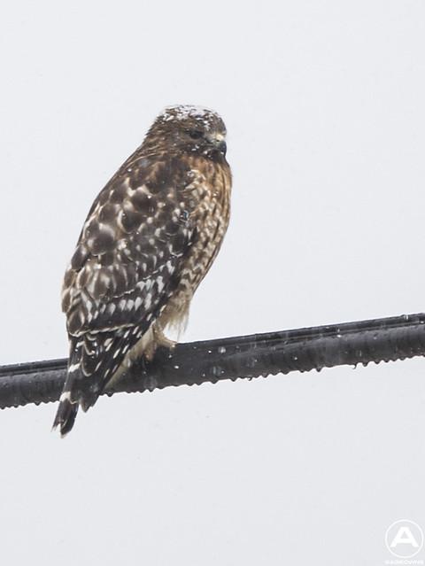 Snow hawk (1/1000) zoomed in