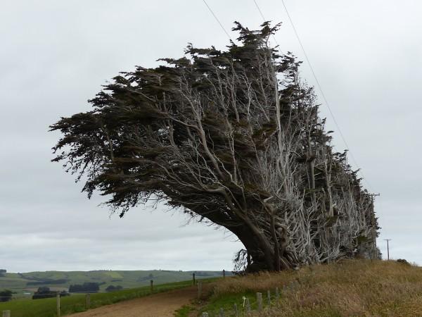 Les célèbres arbres des Catlins, victimes du vent