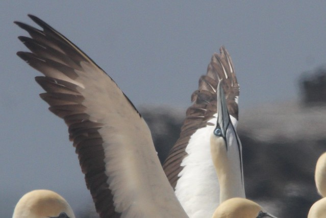 Cape gannet stretching its wings