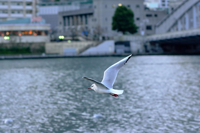 black-headed gull_02
