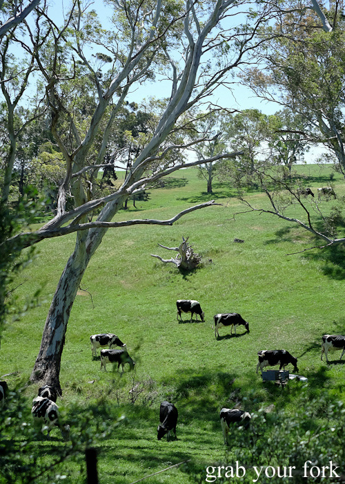 Cows grazing in McLaren Vale, South Australia