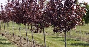 Conversano- ladri rubano alberi di ciliegio