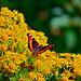 Butterfly by begewebber