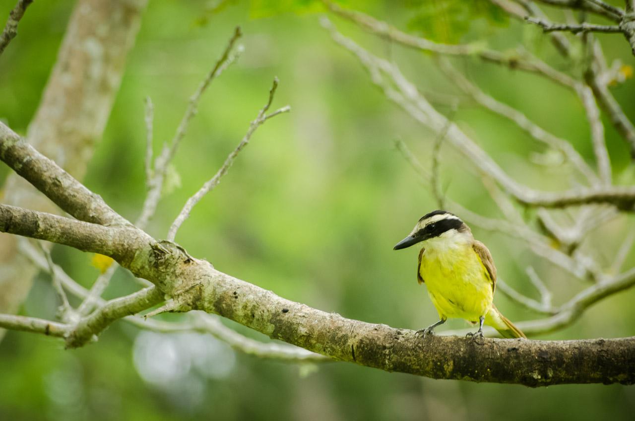 Un Bienteveo (Pitogue) se posa sobre una rama del bosque correspondiente al Mirador de Aves, dentro del Parque Nacional Santa Teresa, en Rocha. (Elton Núñez)