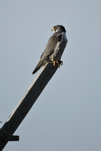 Peregrine Falcon #58 Lifer #144
