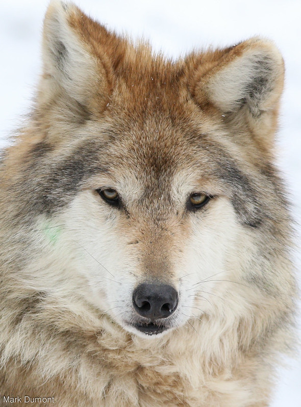 mexican wolf close-up