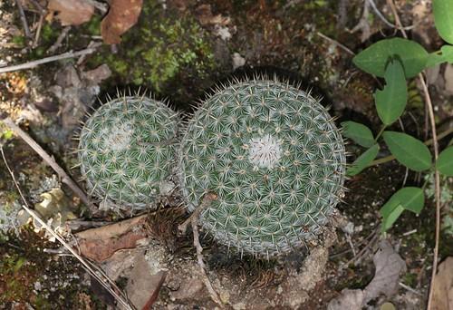 Mammillaria conspicua (Cactaceae)