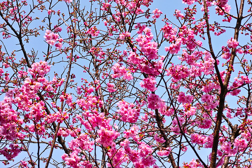 桜開花、品種は陽光