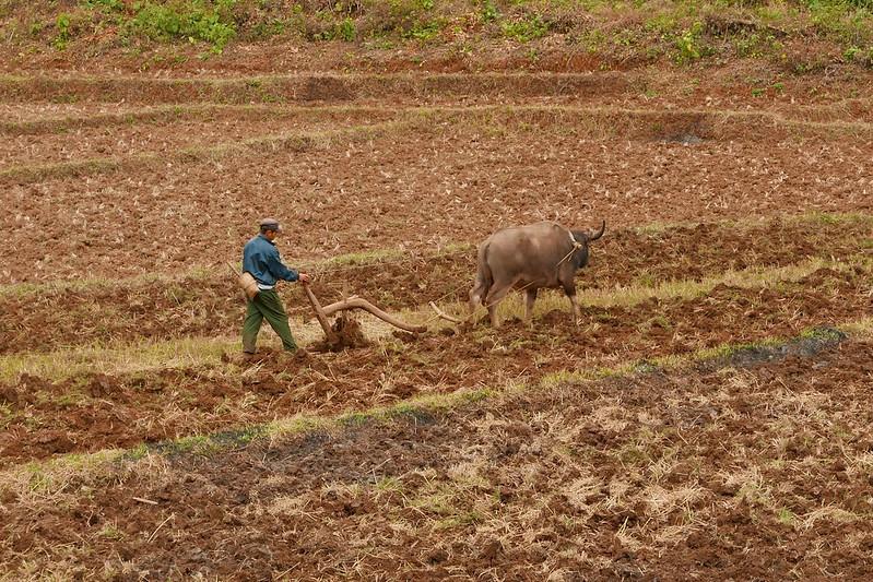 Neben dem Chinese Buffalo gibt es immer noch viele Bauern, die Wasserbüffel einsetzen