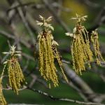Oak trees: Quercus alba