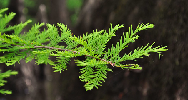 Taxodium distichum (5)