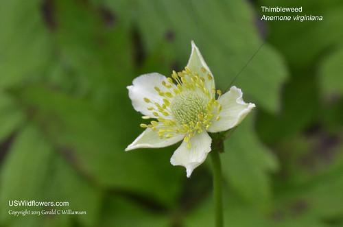 Thimbleweed, Tall Anemone - Anemone virginiana