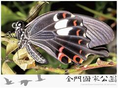 白紋鳳蝶-01