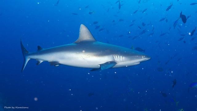 サメはそこらでウロウロ