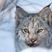 Canadian Lynx by Adam Hill Photo
