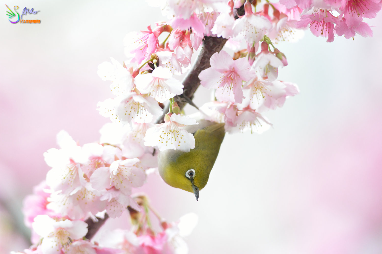 Sakura_White-eye_7262