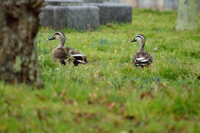 カルガモ Grey ducks