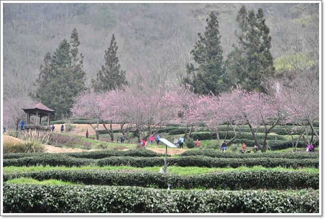 21天改变孩子一生视频台中。武陵农场~2/14和2/15花况全记录~(最终回) @ Emily玩美煮意sup天賦