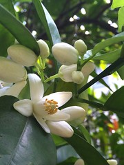 Mmmm the scent of orange blossoms
