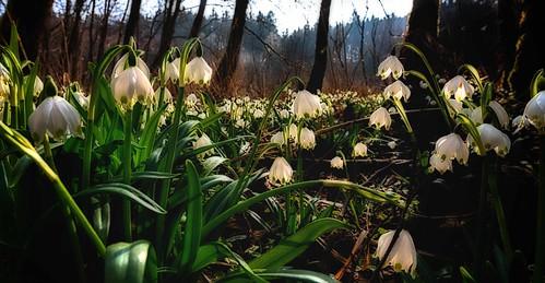 Spring snowflakes near Sippenau (explored)