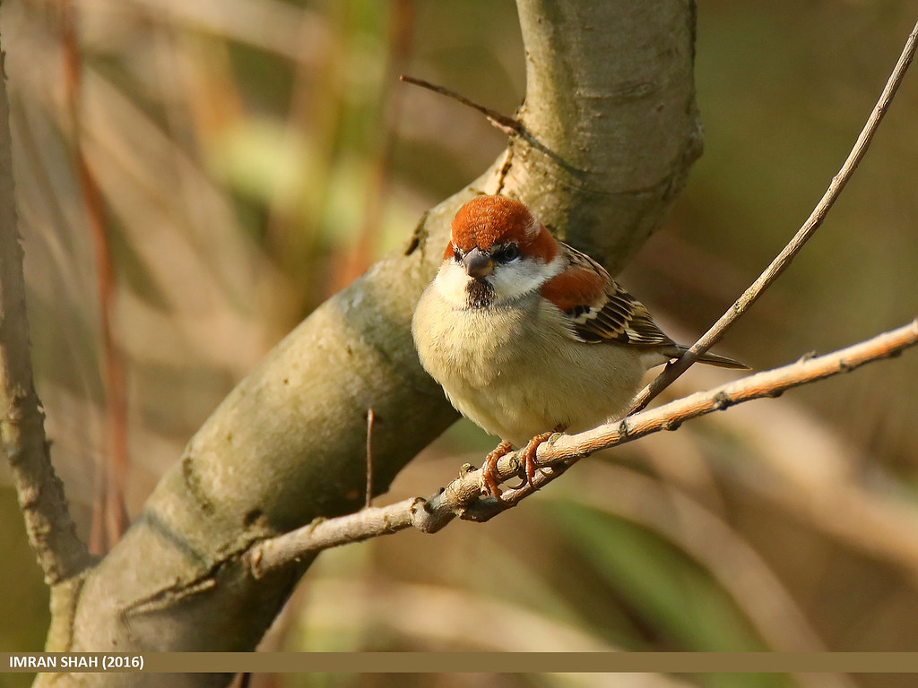 Russet Sparrow (Passer rutilans)