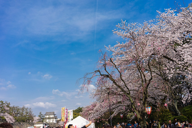 CherryBlossoms_157