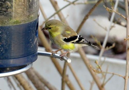 American Golden Finch
