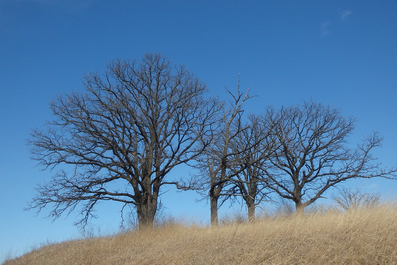 bright blue sky, light brown grasses, and four bare oak trees taking up most of the frame