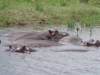 Hippos | by Ujuzi African Travel