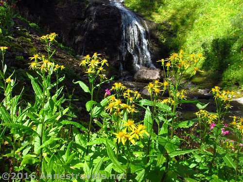 Wildflowers near Dundee Falls, Shoshone National Forest, Wyoming