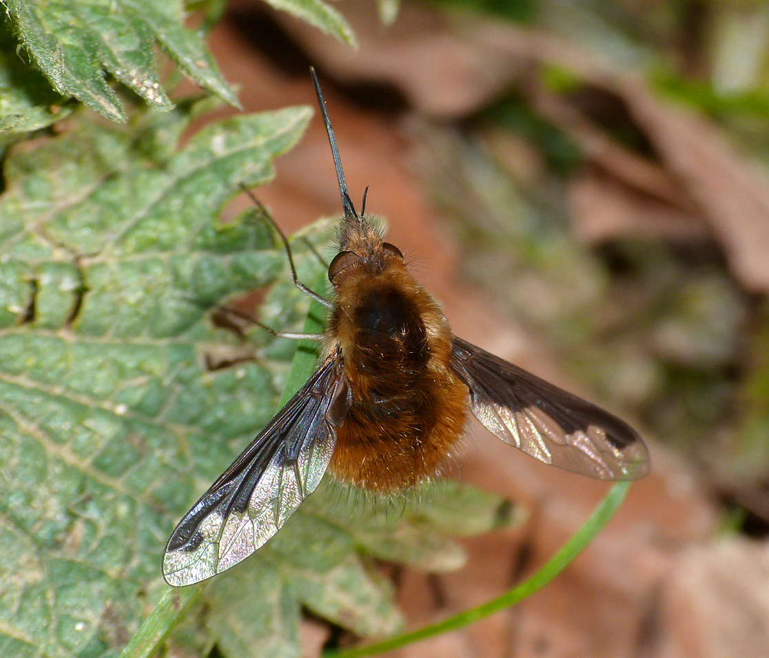 Dark-edged Bee-fly Hatfield Forest 14Apr16