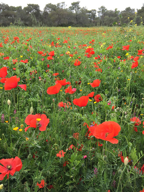 20160327_6408_poppies_resize