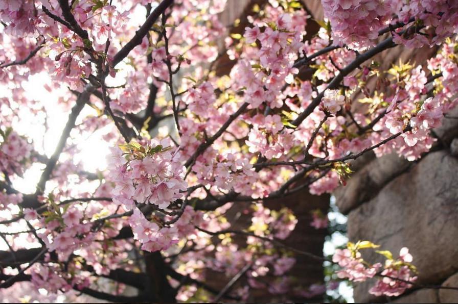 japan sakura tree