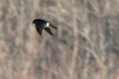 swallow IMG_5420