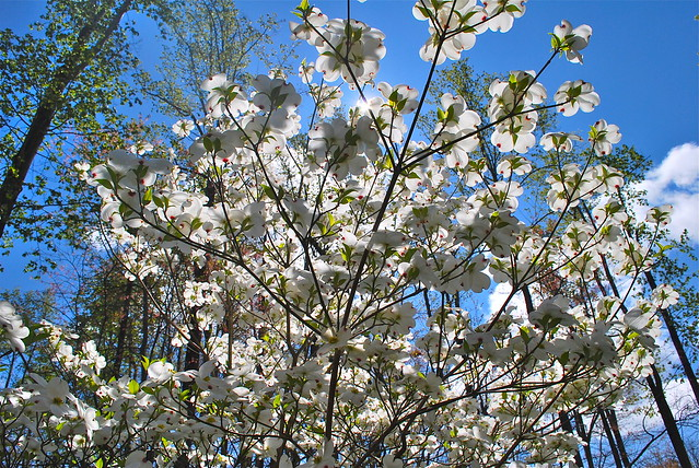 Flowering dogwood tree at Smith Mountain Lake State Park, Virginia