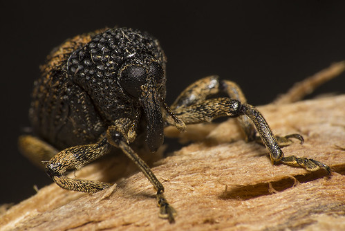 Gorgulho (Curculionidae) b