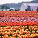 Abbotsford Tulip Festival in Abbotsford BC Canada by TOTORORO.RORO