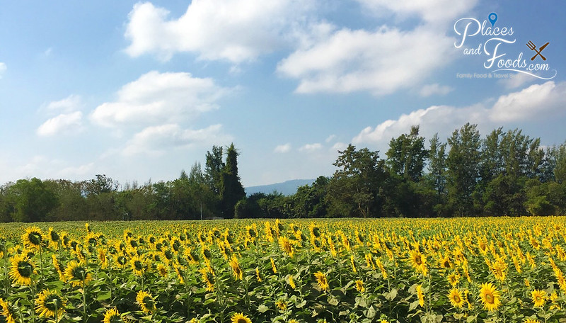 jim thompson sunflower field panoramic